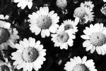Chrysanthèmes _ credit photo toshiyuki IMAI