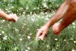 agriculture bio et emplois - cueillette à la main