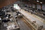 Vaches laitières sur caillebottis libre - ferme expérimentale de Thiverval Grignon