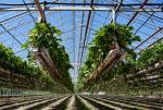 fraises culture hydroponique danemark
