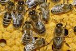 rayons miel ogm gmo abeille