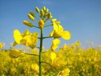 fleur de colza dans un champ agrocarburant