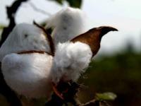 coton bt cotton ogm gmo genetically modified organism genetiquement modifie