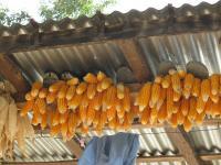 mais qui seche sur les toits maize gmo ogm
