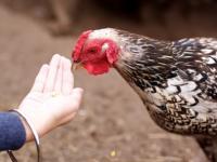 nourrissage poulet grains