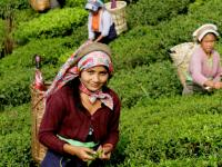 groupe de cueilleuses de thé - plantation de Selimbong, Darjeeling, Inde. Crédit photo: Jardins de Gaïa