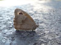 Papillon dans la forêt de Sivens - crédit Sandrine Rouja