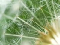 pissenlit fleur graines semences