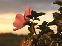 fleur d'églantier - credit Jaanus Silla