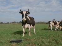 Le veau la vache et le territoire de Patrice Gérard