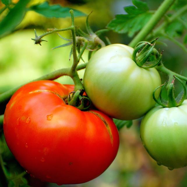 Quand commence la saison des tomates bio consom 39 acteurs - Quand repiquer les tomates ...
