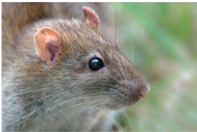 comment se d barrasser des rats le plus naturellement possible bio consom 39 acteurs. Black Bedroom Furniture Sets. Home Design Ideas