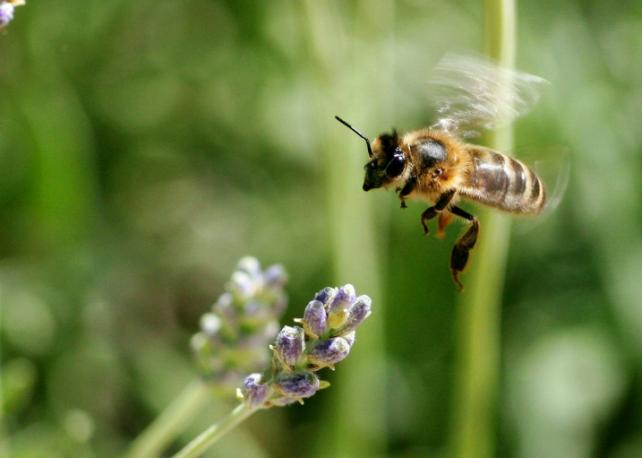 abeille ogm gmo bee conseil scientifique haut conseil biotechnologies
