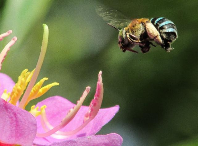abeille - crédit Michael MK Khor