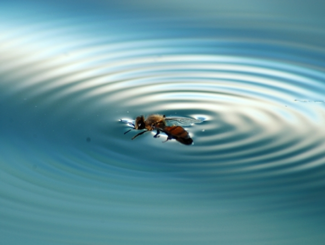 abeille noyade bee