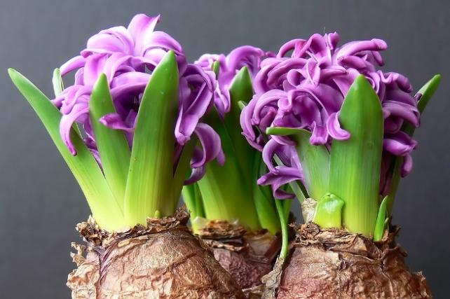 bulbes de jacinthes en fleurs