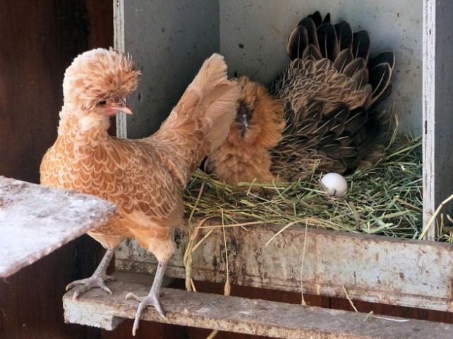 poules couvaison