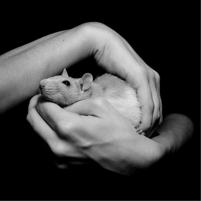 rat - Creative commons