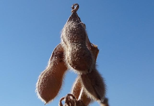 soja soybean glycine