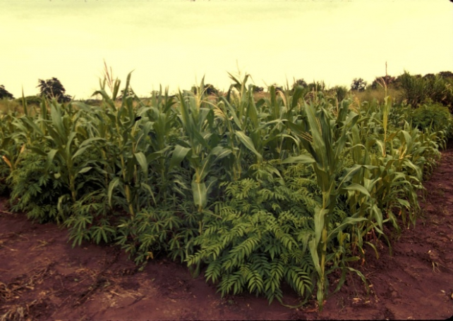 Champ de maïs - crédit: IITA Image library