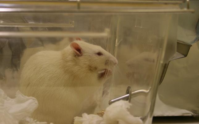 rat de laboratoire crédit Jean-Etienne Minh-Duy Poirrier